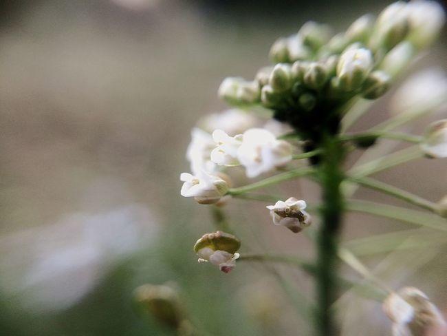 Macro Natural Flower ぺんぺん草 Wind