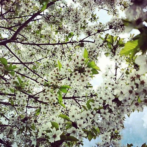 Kirschblüte Bienen