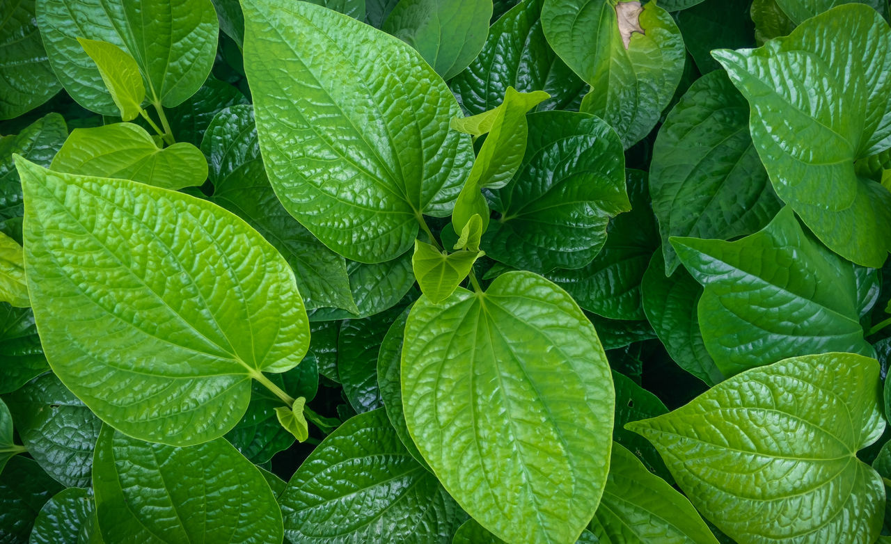 Wild Betel Leafbush , Piper sarmentosum Roxb, green leaves of tropical plant Background Clean Closeup Diet Environment Field Floral Flower Foliage Grass Green Herbal Leaf Medicine Natural Organic Outdoor Park Pharmaceutical Roasted Spice Summer Tree Wallpaper