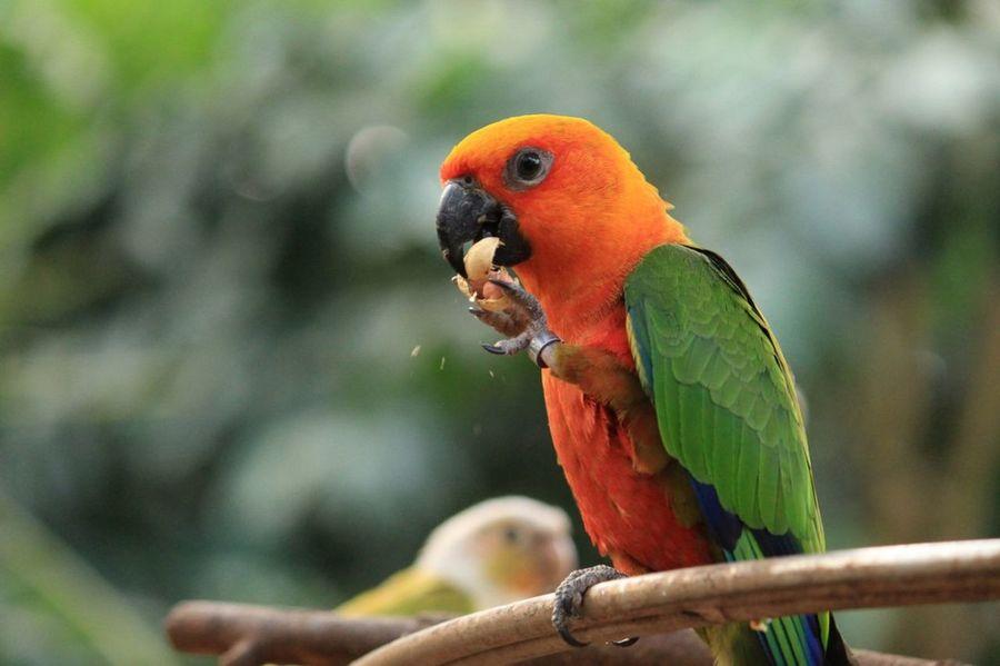 Birds Of EyeEm  Bird Photography Hungry Bird Colours Of Nature EyeEm Best Shots National Park Parrot Lovebirds