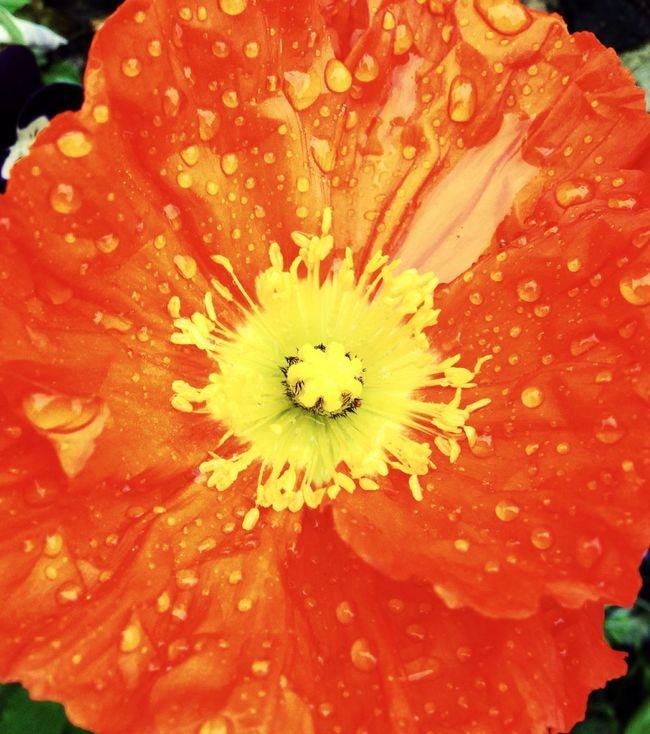Les fleurs sous la pluie ... Phone + hipstamatic sans filtre ni retouche. 25 mars 2014. Flowers