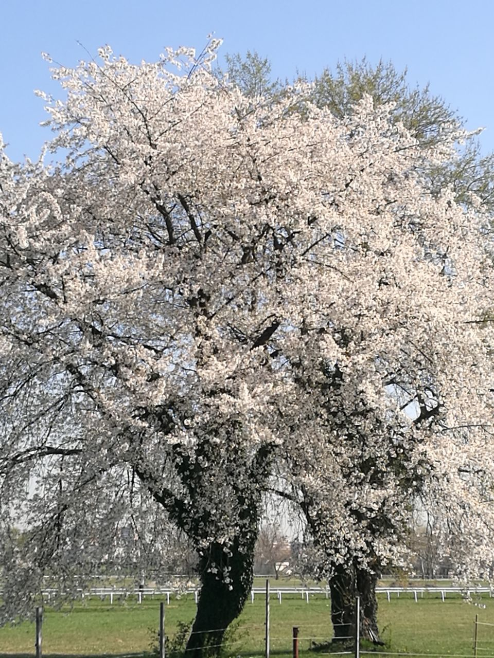 tree, cherry blossom, blossom, flower, branch, springtime, almond tree, cherry tree, nature, beauty in nature, growth, orchard, apple blossom, day, no people, freshness, fragility, outdoors, grass, clear sky, sky