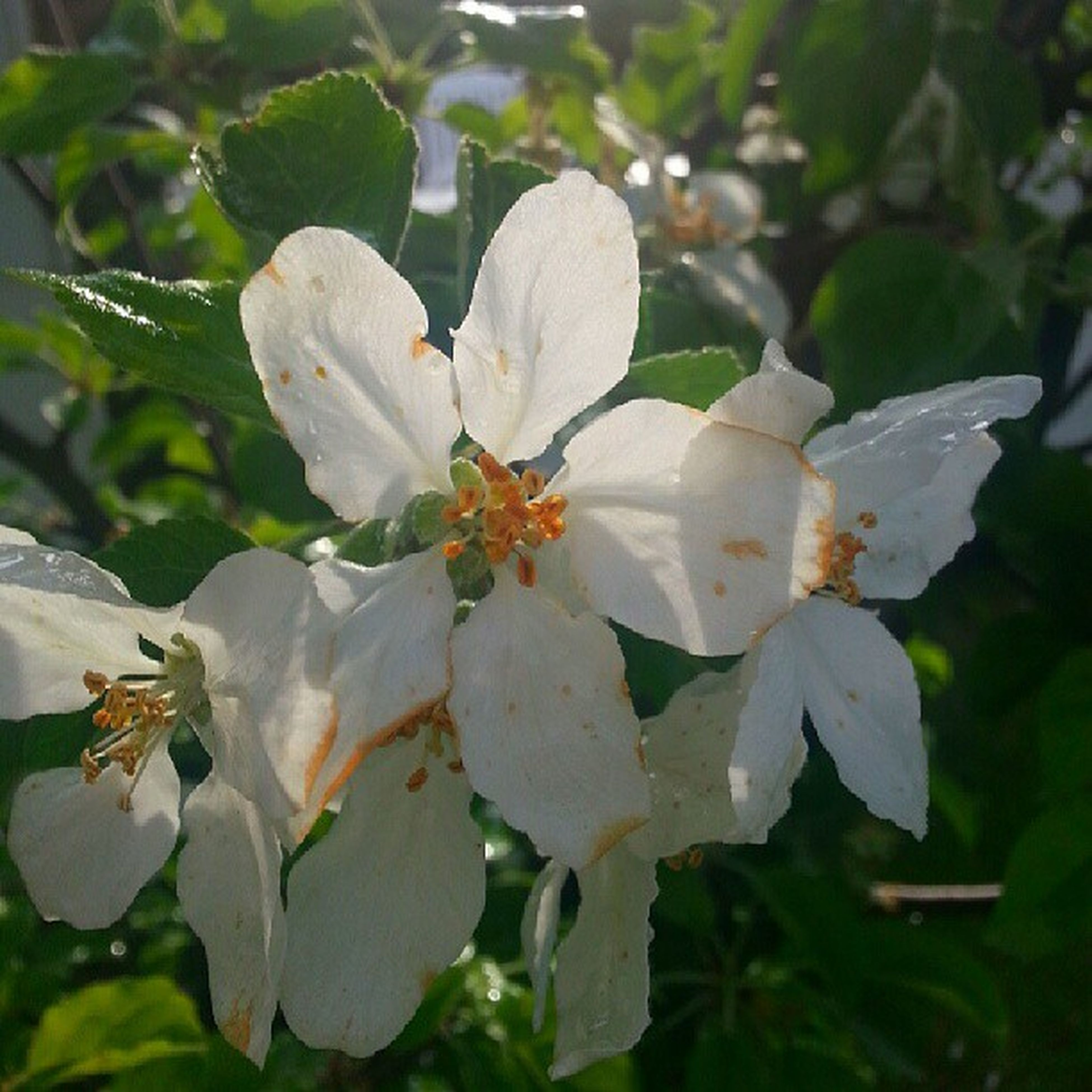 flower, growth, freshness, petal, fragility, leaf, beauty in nature, flower head, close-up, nature, white color, focus on foreground, plant, blooming, in bloom, park - man made space, day, outdoors, pollen, stamen