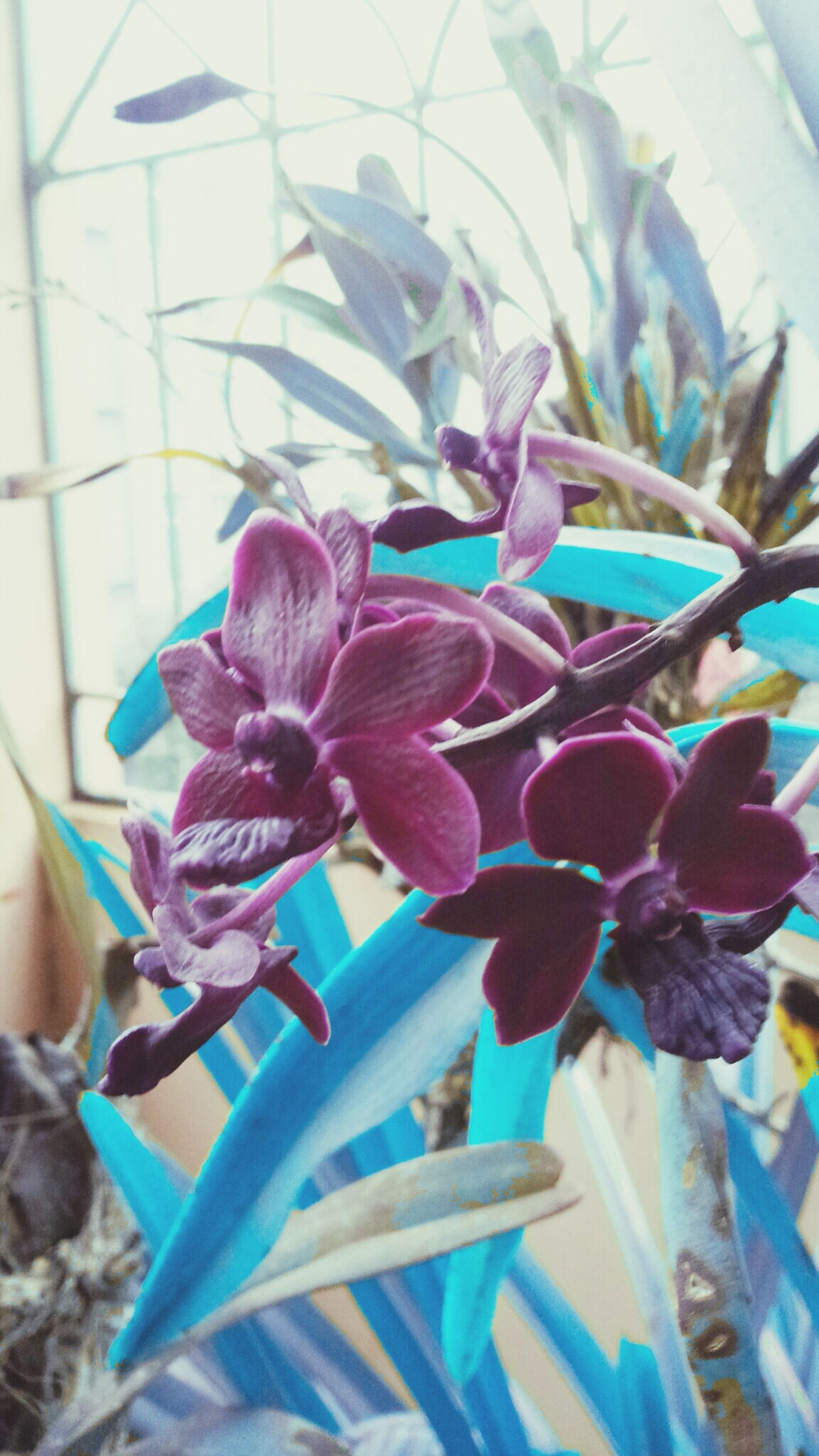 flower, fragility, petal, growth, freshness, plant, flower head, purple, blue, close-up, nature, blooming, beauty in nature, potted plant, leaf, day, stem, focus on foreground, no people, indoors