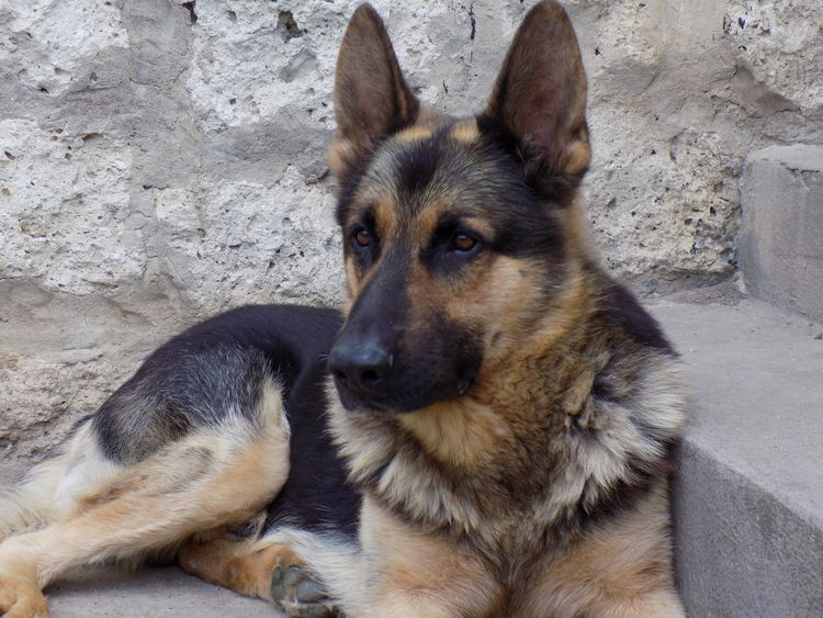 Alsatian Dog Natural Alsatian Animal Animal Themes Close-up Cute Day Dog Domestic Animals German Shepherd Looking At Camera Lying Down Mammal No People One Animal Outdoors Pets Portrait Sitting
