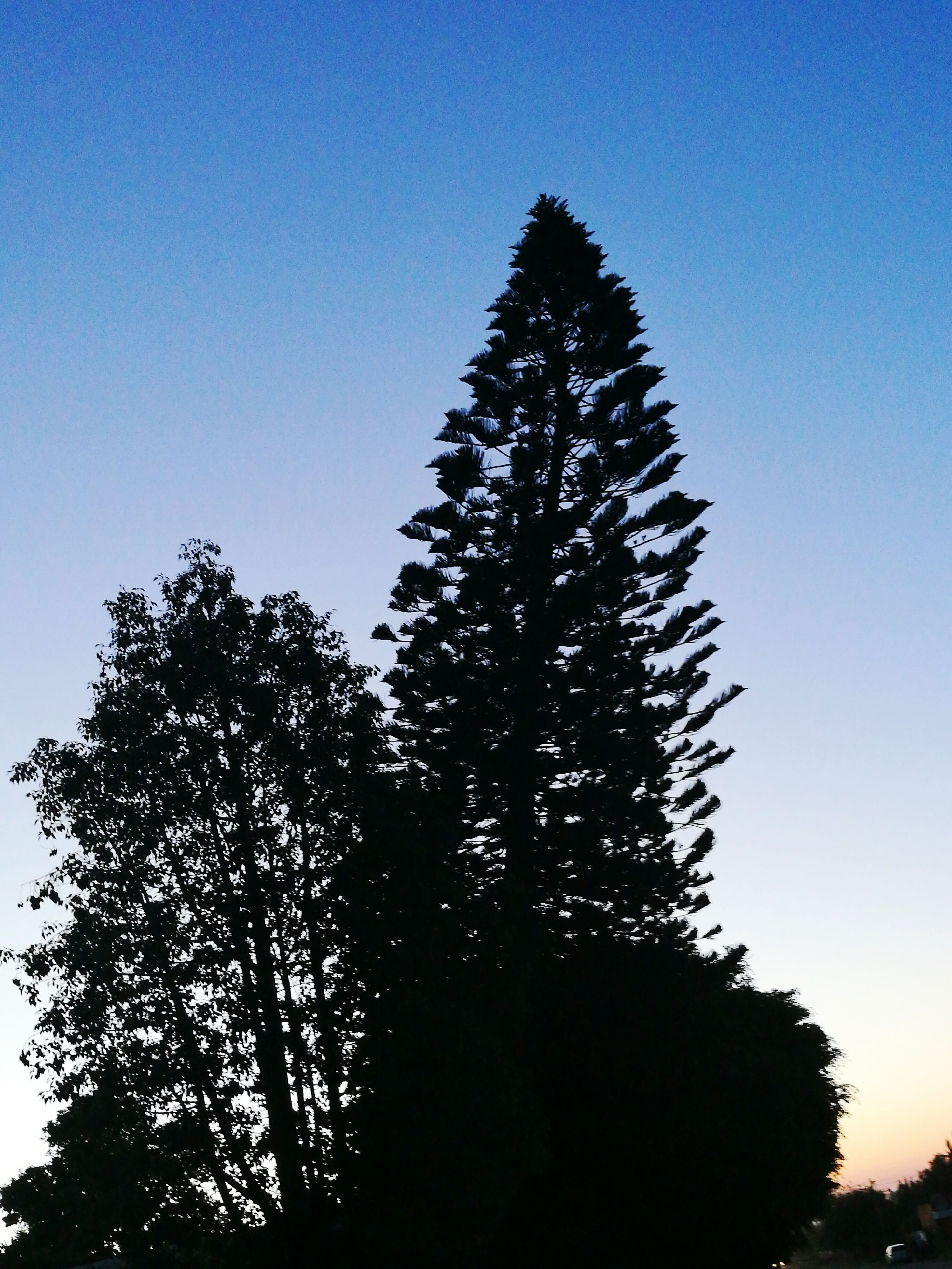 tree, clear sky, low angle view, growth, nature, forest, silhouette, blue, no people, beauty in nature, outdoors, sky, day, high