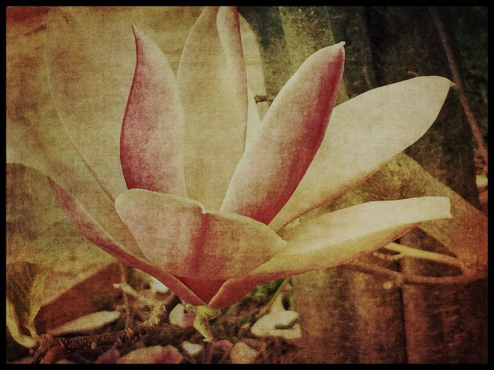Textured Magnolia Study. Flower Creativity Old-fashioned Stackablesapp Taking Photos Absence Softness Soft Grunge Floral White Flower