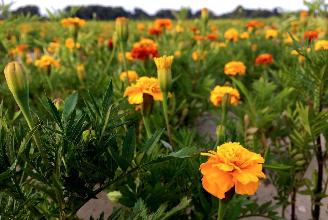 Flower Freshness Growth Fragility Petal Beauty In Nature Blossom Springtime Yellow Nature Focus On Foreground Field Stem Close-up Plant Flower Head Vibrant Color In Bloom Orange Color Green Color Agriculture Landscape Field