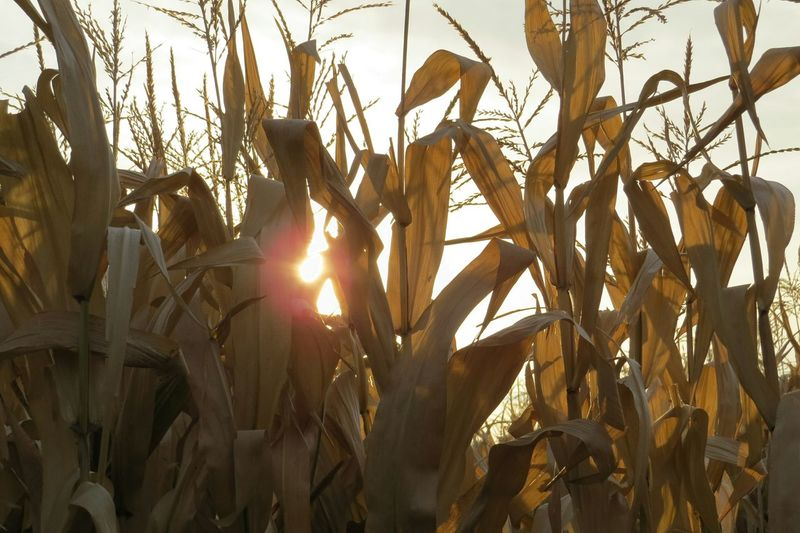 No Filters  Sunset Country Sunset In The Corn