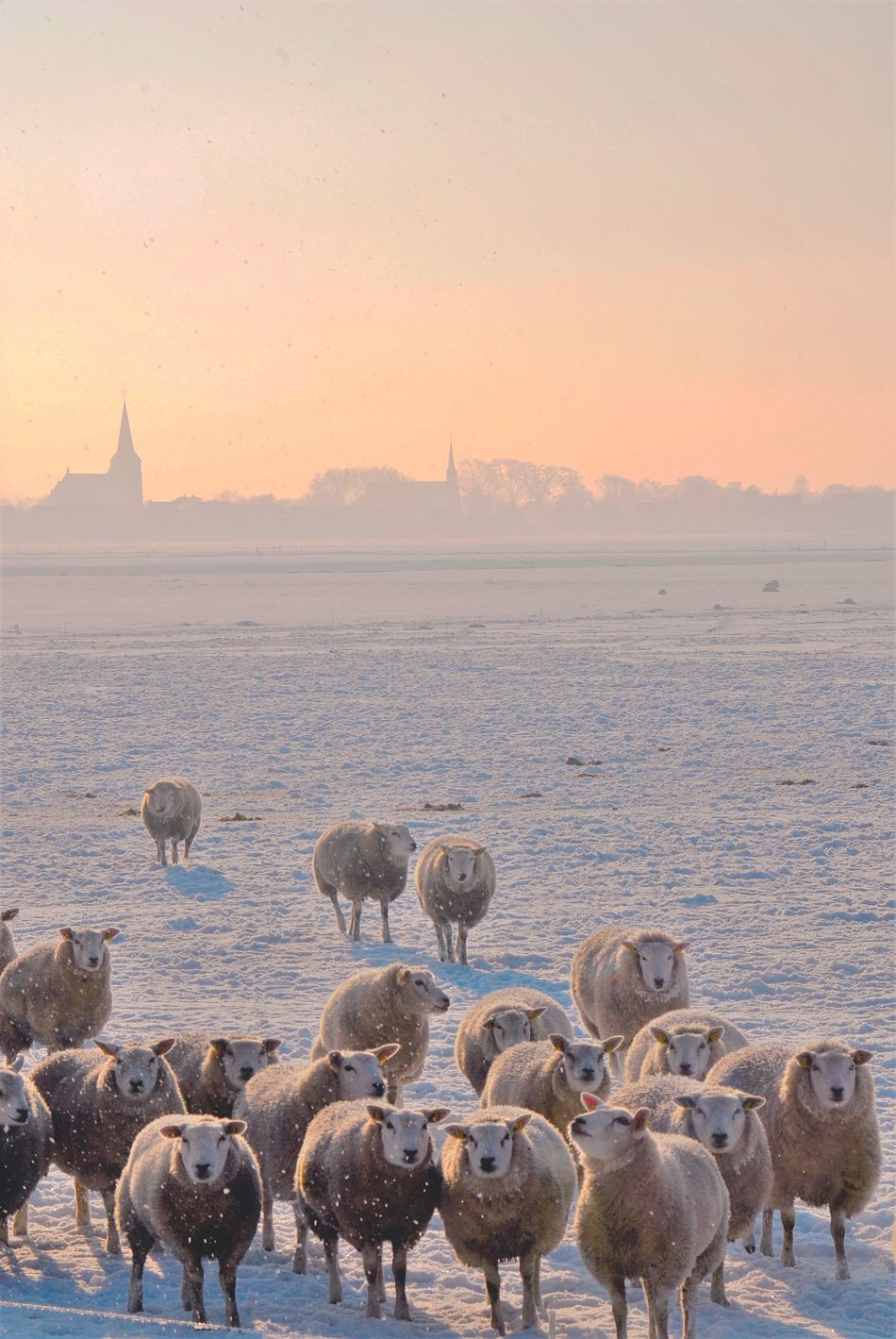 Beautiful stock photos of sheep, Animal Themes, Cold Temperature, Covered, Day