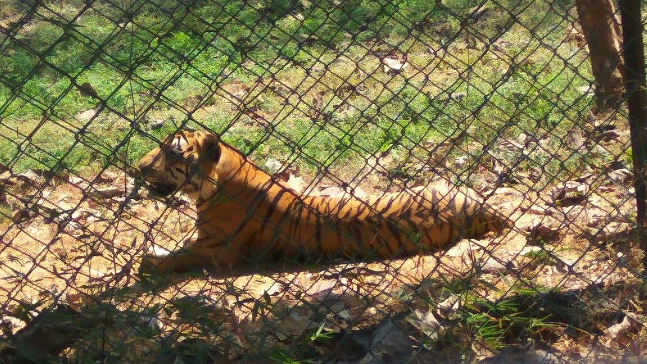 animal themes, one animal, mammal, animals in the wild, wildlife, day, relaxation, feline, field, outdoors, tiger, no people, nature