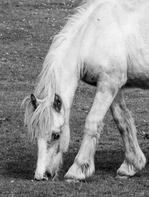 happy grazing Beauty In Nature EyeEm Nature Lover AMPt_community For My Friends That Connect Cornwall Cornwall Uk Beauty In Everything Moorland No People Monochrome Black And White Black And White Edit Animals Pony Pony Grazing White Pony