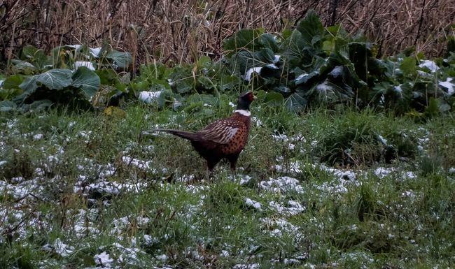 Famous Grouse Wildlife Wildlife & Nature Snow Nature EyeEm Nature Lover EyeEm Best Shots Nikon Nikonphotography