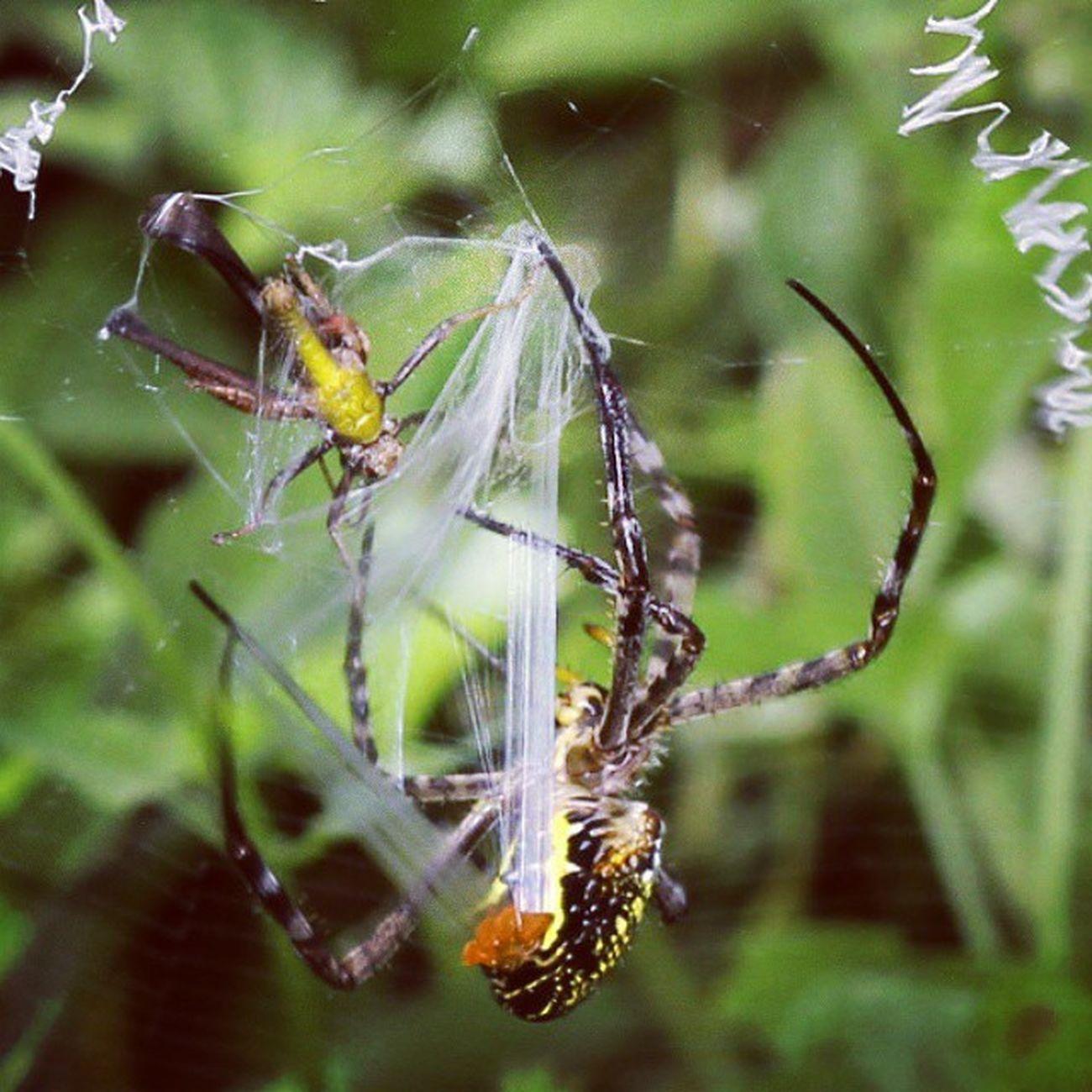 Balut mangsa. Spider Spiderworld Ig_spider Macro macroworld_tr tgif_insects igglobalclubmacro greatshoot