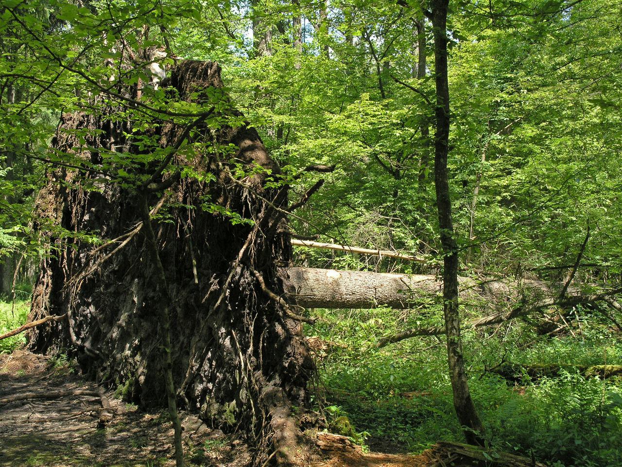 Bialowieza National Park, Poland Bialowieska Bialowieza Bialowieza Forest Bialowieza National Park Białowieska Białowieża Białowieża Forest Broken Tree Fallen Fallen Tree Fallen Trees Nature Outdoors Poland Polen Primary Forest Tree Tree Trees Wilderness