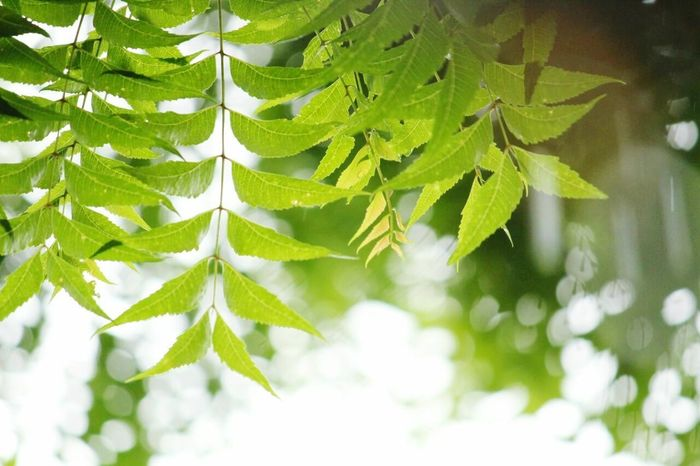 neem Neem Tree Leaf Nature Beauty In Nature Freshness Green Color Plant Outdoors Day Growth Tree EyeEmNewHere