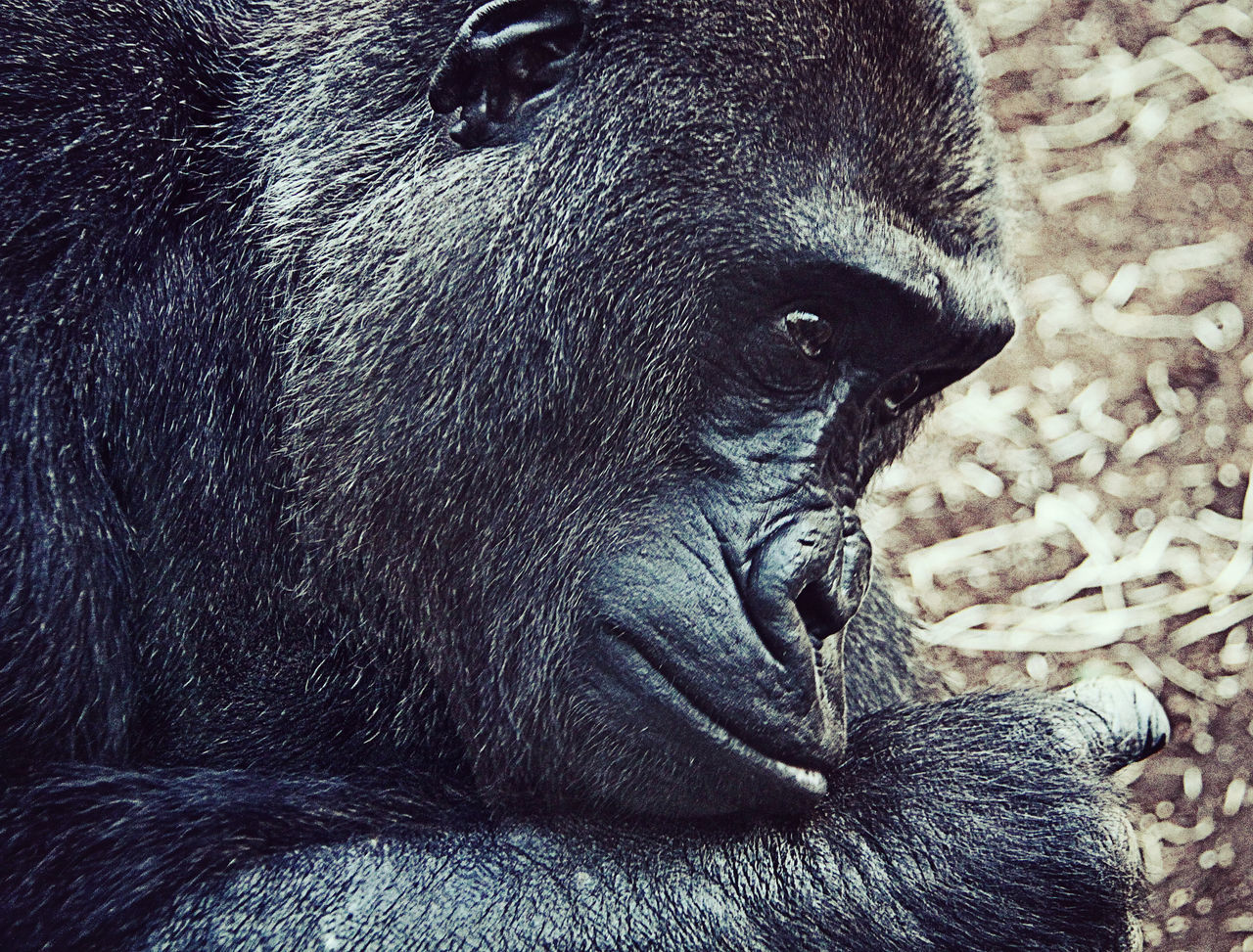 one animal, animals in the wild, animal themes, animal wildlife, mammal, gorilla, no people, nature, close-up, day, outdoors