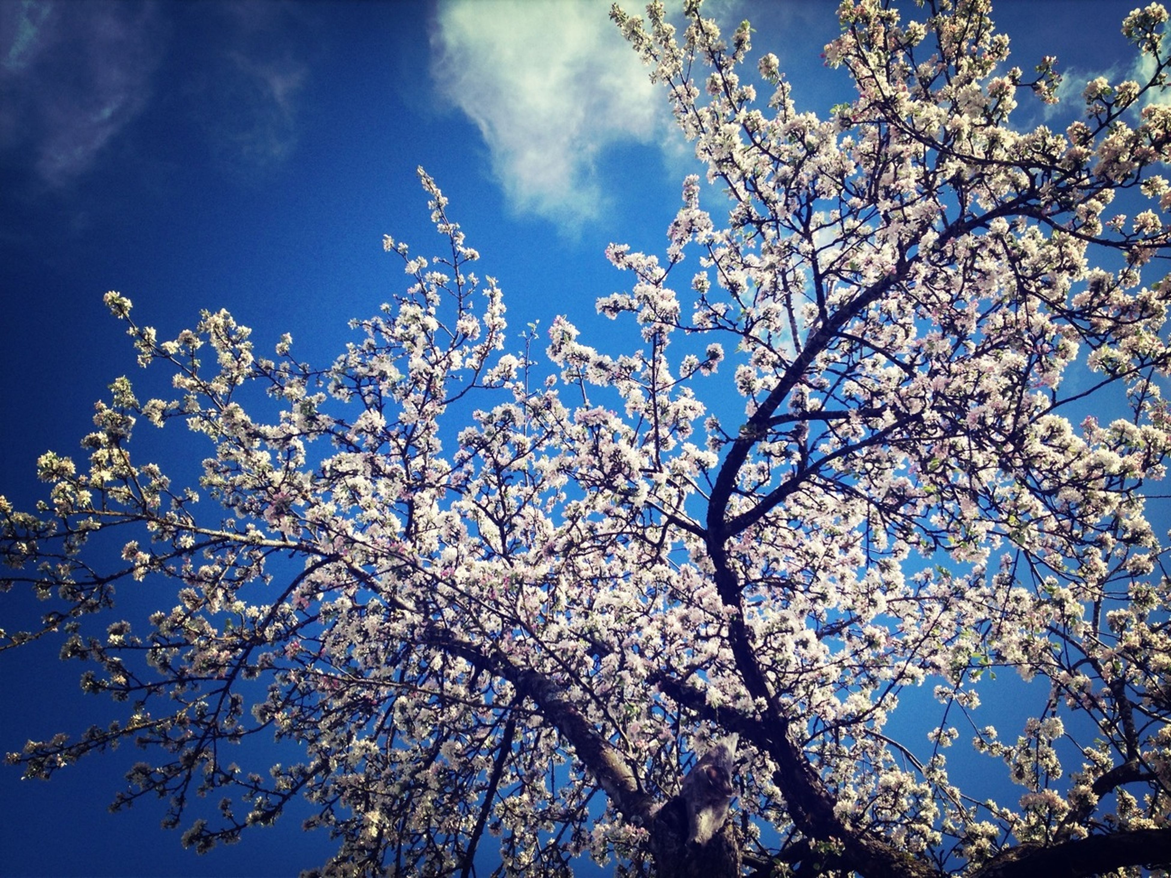 low angle view, branch, flower, tree, growth, sky, beauty in nature, freshness, nature, cherry blossom, blossom, fragility, cherry tree, blue, springtime, in bloom, blooming, day, outdoors, twig