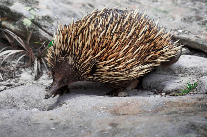 Animal Themes Animal Wildlife Animals In The Wild Day Nature One Animal Outdoors Spiny Anteater
