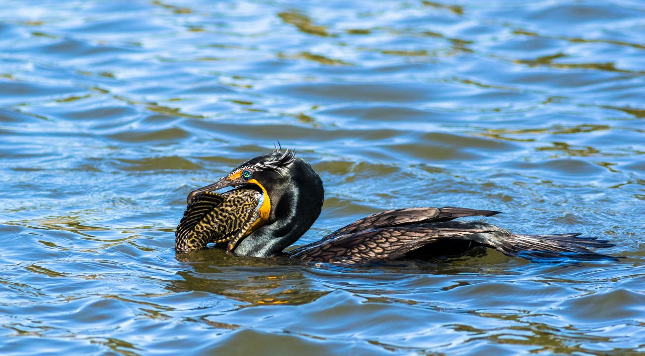 Double-crested Cormorant. Took about 15 minutes from the time I first spotted it to finally swallowing the fish. Wildlife Wildlife Photography Bird Photography Nature Double-crested Cormorant California Birds