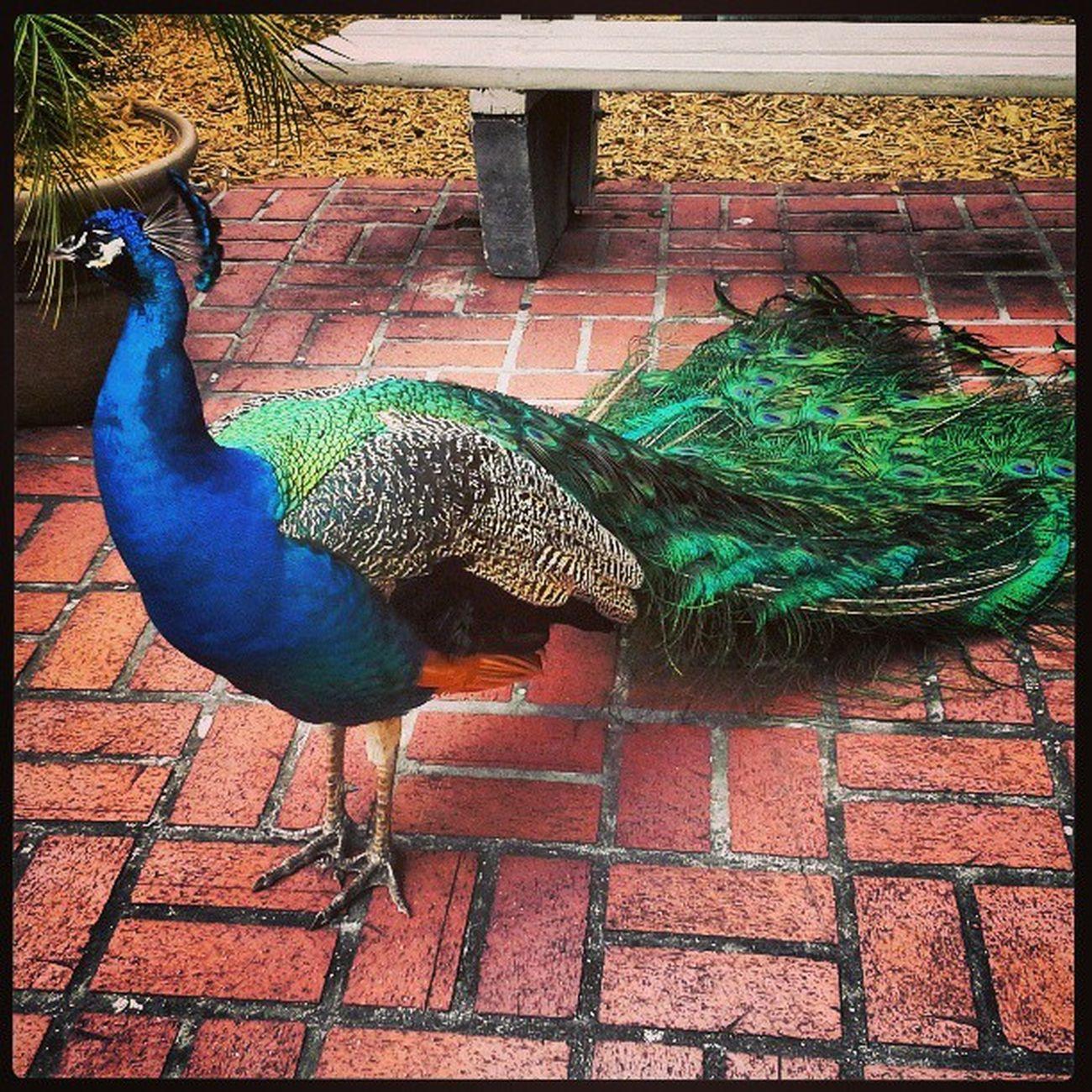 #peacock #Florida Peacock Florida Pavone Square_nio