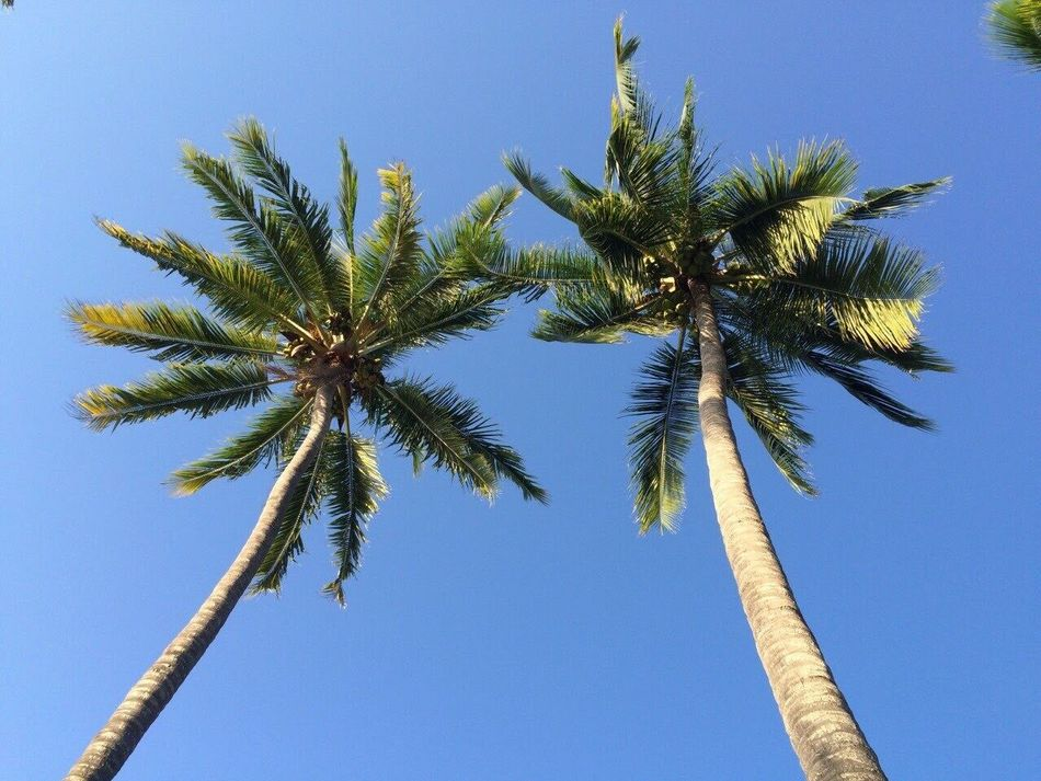 Twin Palms Palm Tree Low Angle View Growth Blue Clear Sky Tree Tall - High Tree Trunk Nature Beauty In Nature Tranquility Scenics Day Outdoors Coconut Palm Tree Sky Branch Tranquil Scene Green Color No People