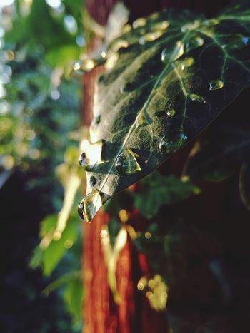 Drops💧 Drops Of Rain EyeEm Best Shots - Nature Plants 🌱 Eyem Best Shots Green Color Leaf Close-up