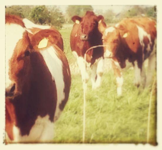 Cows Enjoying Life Life On The Farm!