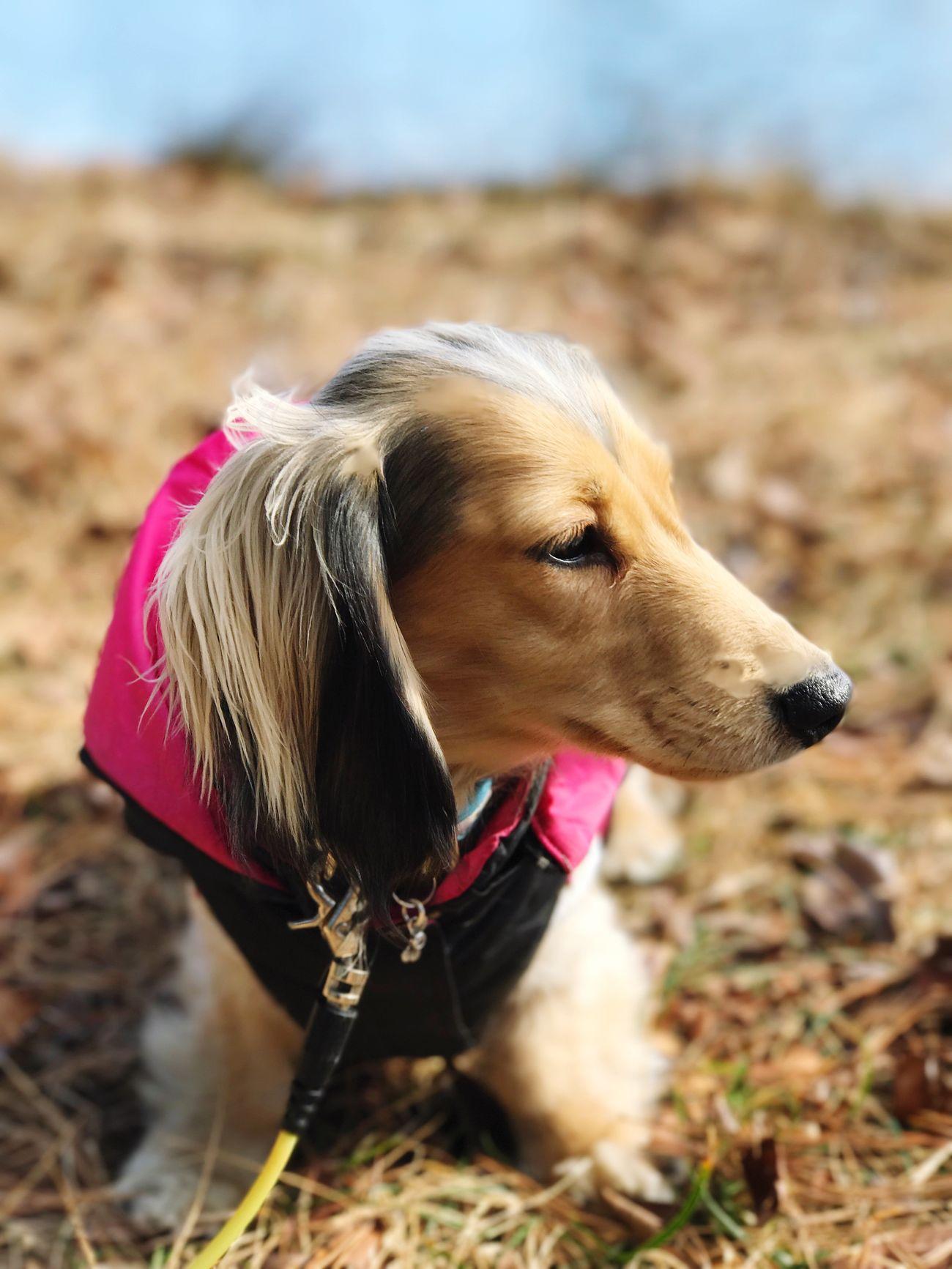 Close-up Minituredachshund Pets Outdoors IPhone7Plus 敷島公園 Wintertime