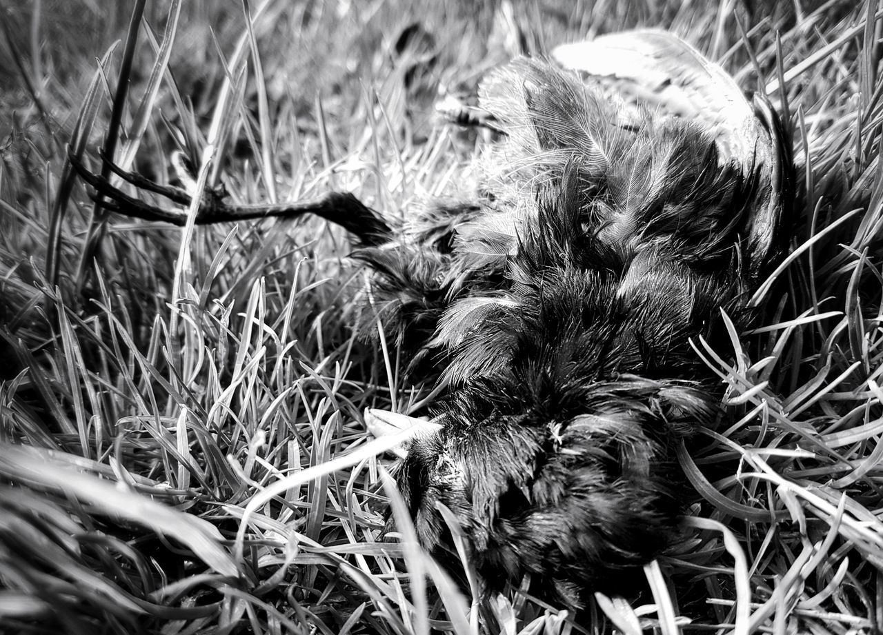Death IV No People Growth Grass Nature Outdoors Animal Themes Light And Shadow Taking Photos My Point Of View Mypointofview Lights And Shadows Black And White Collection  Black And White Eyem Black And White Black & White Creepy Pets Blackandwhite Monochrome Photograhy Monochrome _ Collection Death Nature Death And Life Bird Bird Photography Birds_collection Death