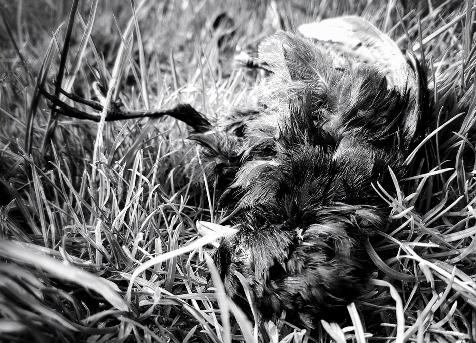 No People Growth Grass Nature Outdoors Animal Themes Light And Shadow Taking Photos My Point Of View Mypointofview Lights And Shadows Black And White Collection  Black And White Eyem Black And White Black & White Creepy Pets Blackandwhite Monochrome Photograhy Monochrome _ Collection Death Nature Death And Life Bird Bird Photography Birds_collection Death