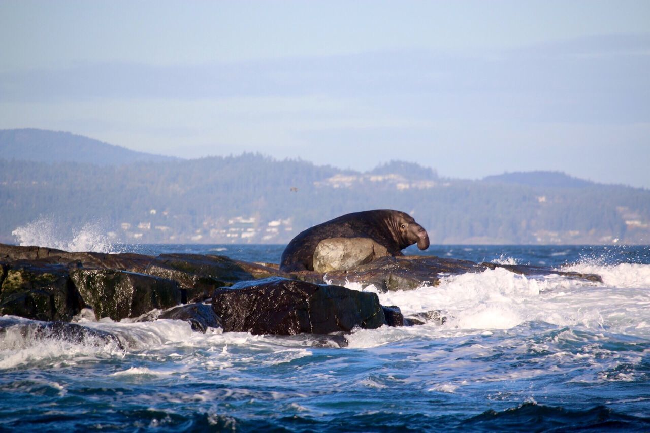 Water Waterfront Nature Sea Animal Themes One Animal Beauty In Nature Mammal Sky Mountain Range Animals In The Wild Aquatic Mammal Outdoors Animal Wildlife Mountain Day Elephantseal Victoria British Columbia Close-up Ocean Beauty In Nature Scenics No People Sea Life