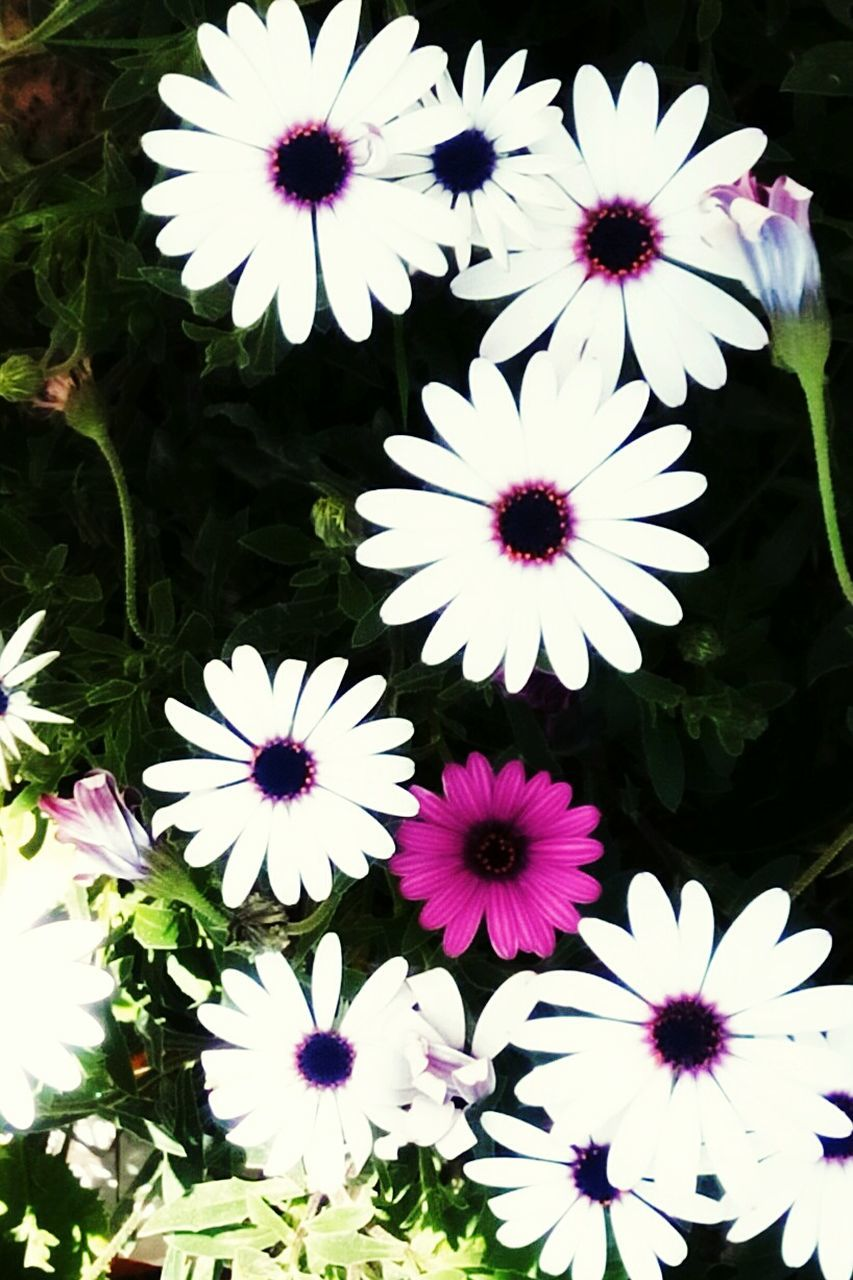 flower, petal, flower head, fragility, beauty in nature, freshness, nature, white color, osteospermum, growth, plant, high angle view, blooming, no people, day, pollen, outdoors, close-up