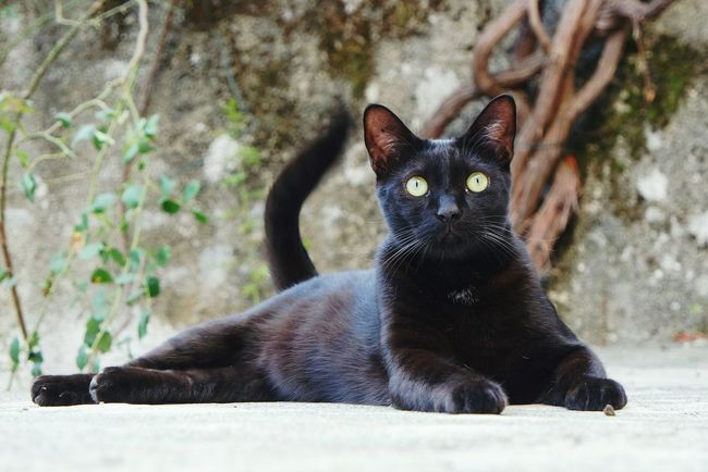 Interested? One Animal Animal Themes Pets Domestic Animals Black Color Cat Domestic Cat Close-up Mammal Selective Focus Zoology Feline Whisker Alertness Looking At Camera Focus On Foreground Animal No People Cats Of EyeEm EyeEm Best Shots Fresh 3 Eye4photography  Open Edit Pet Photography