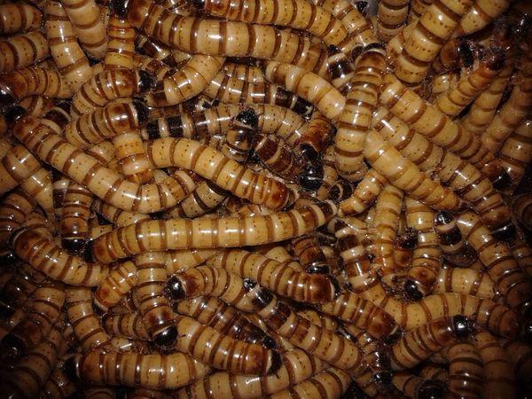 Animal Food Animal Themes Beetle Macro Macro_collection No People Worm