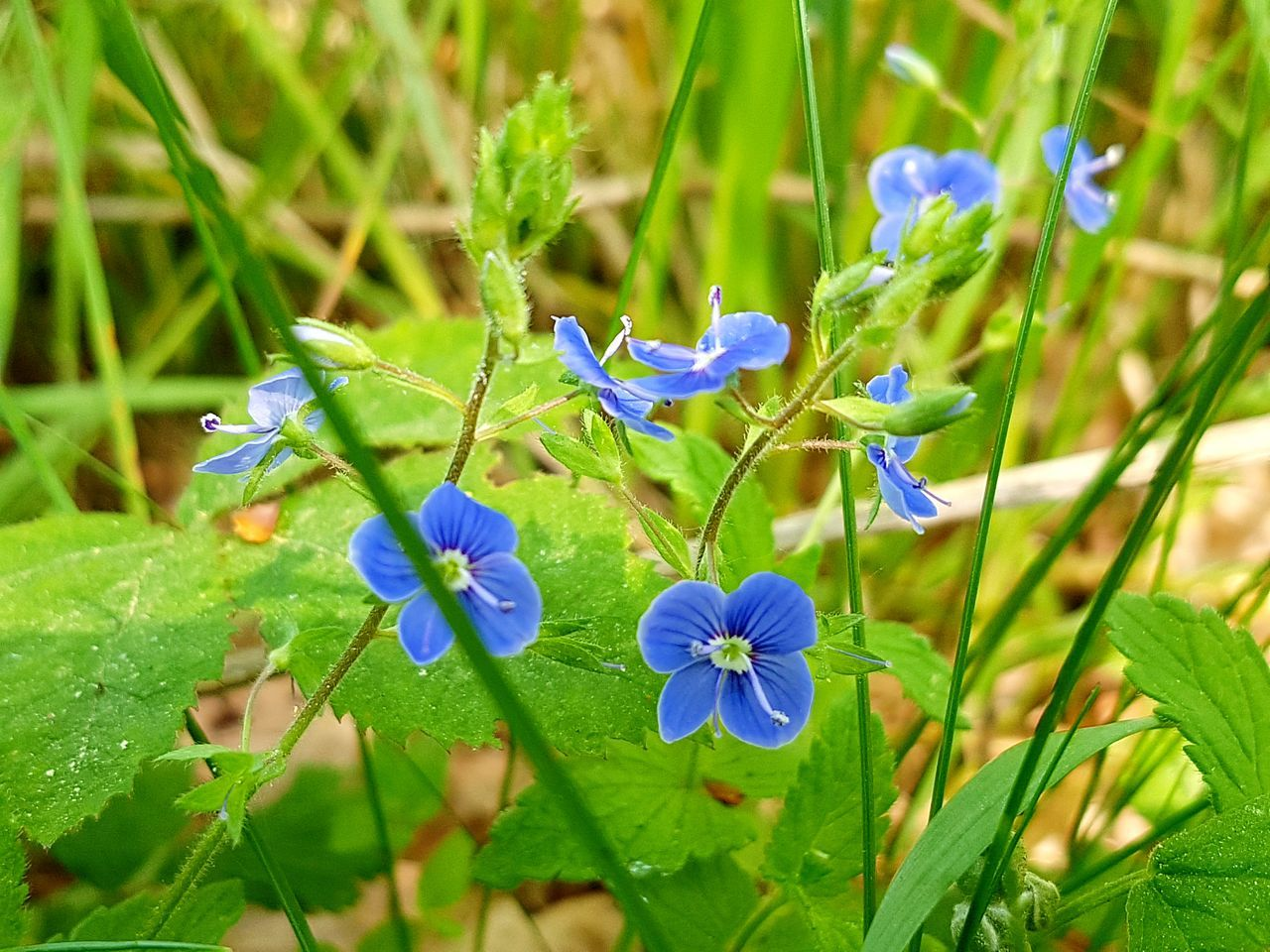 Flower Nature Fragility Plant Beauty In Nature Growth Green Color Day Outdoors No People Freshness Close-up Flower Head Leaf Grass Wildflowers In Bloom Wildflowers Blue Flowers Nature Springtime Uncultivated Freshness Backgrounds Macro Nature Ladyphotographerofthemonth