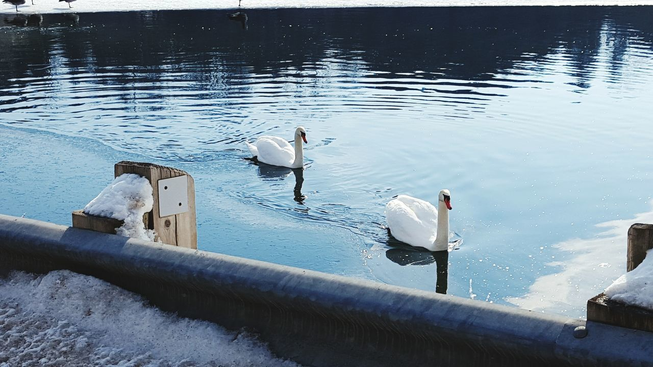 water, animals in the wild, lake, animal themes, bird, swimming, swan, animal wildlife, high angle view, day, nature, reflection, wildlife, no people, water bird, outdoors, waterfront, togetherness