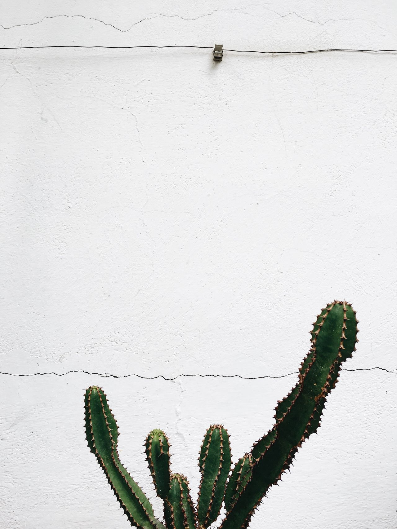 Wall - Building Feature No People Whitewashed Plant Nature Cactusporn Cactus Garden Cactus Flower Cactus White Color Fragility Freshness Beauty In Nature EyeEm Nature Lover Botanical Gardens Greenhouse Nature White Background Plant Growth Green Color