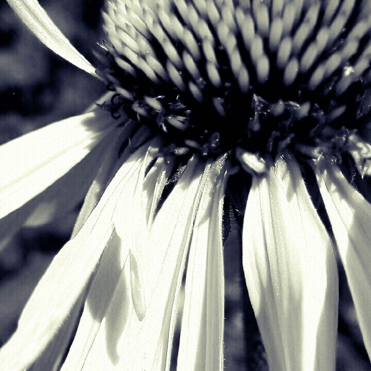 Summer Flowers Nature Blackandwhite Texture Eye4photography  B+W
