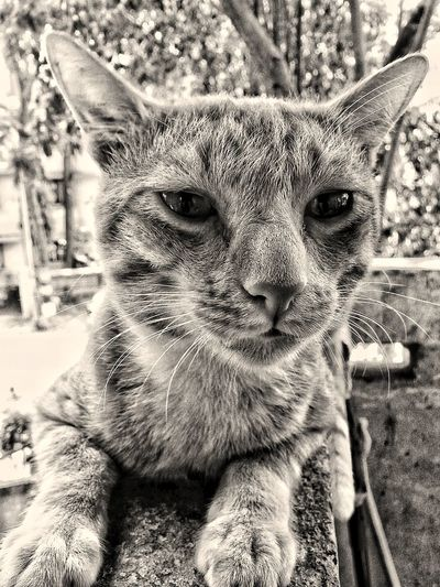 One Animal Looking At Camera Domestic Animals Pets Feline Day Indoors  Close-up No People
