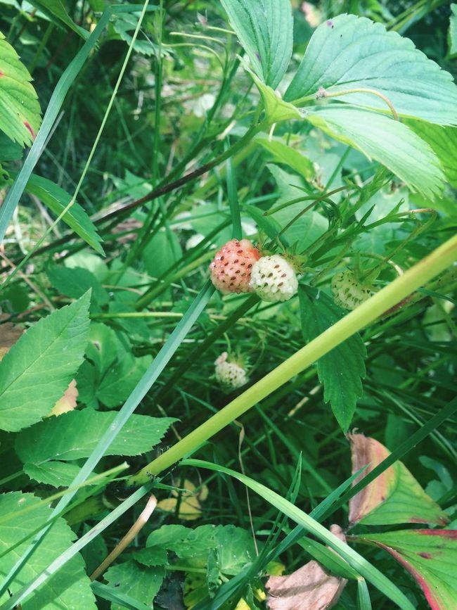 Unripe Strawberries Cute
