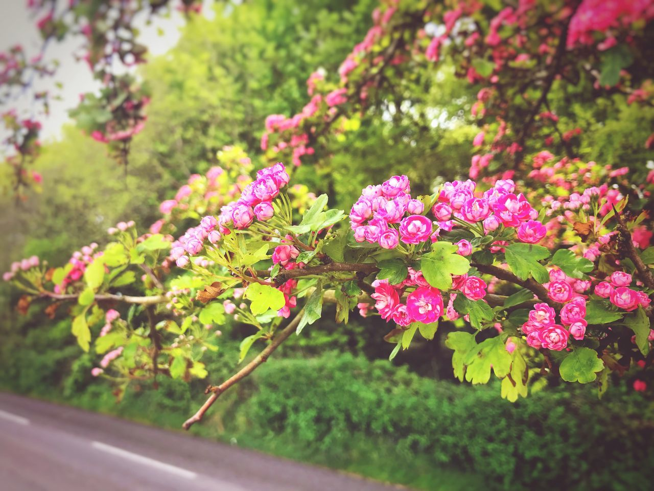Flower Growth Pink Color Nature Plant Beauty In Nature Fragility No People Day Freshness Petal Outdoors Green Color Leaf Springtime Close-up Flower Head Blooming Ireland Hawthorn Hawthorn Blossom Hawthorne Tree Hawthorn In Flower Crataegus Crataegus Flower