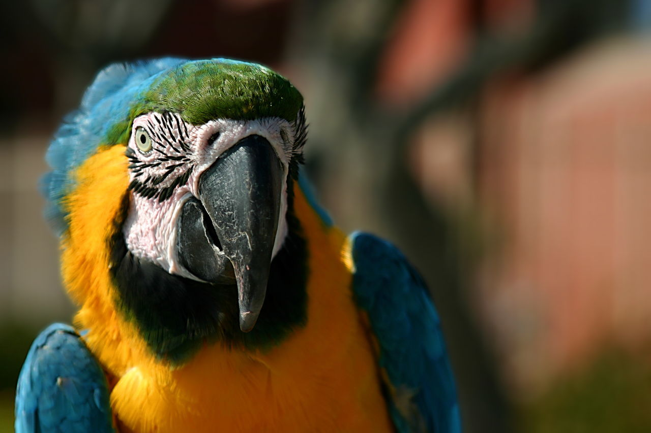 Macaw Macaw near the beach in Ventura California. Animal Beauty In Nature Bird Birds Blue Close-up Colorful Colourful Endangered Species Exotic Eye Feather  Feathers Green Hanging Out Healthy Eating Macaw Nature Parakeet Parrot Parrots Pet Pets Tropical Yellow