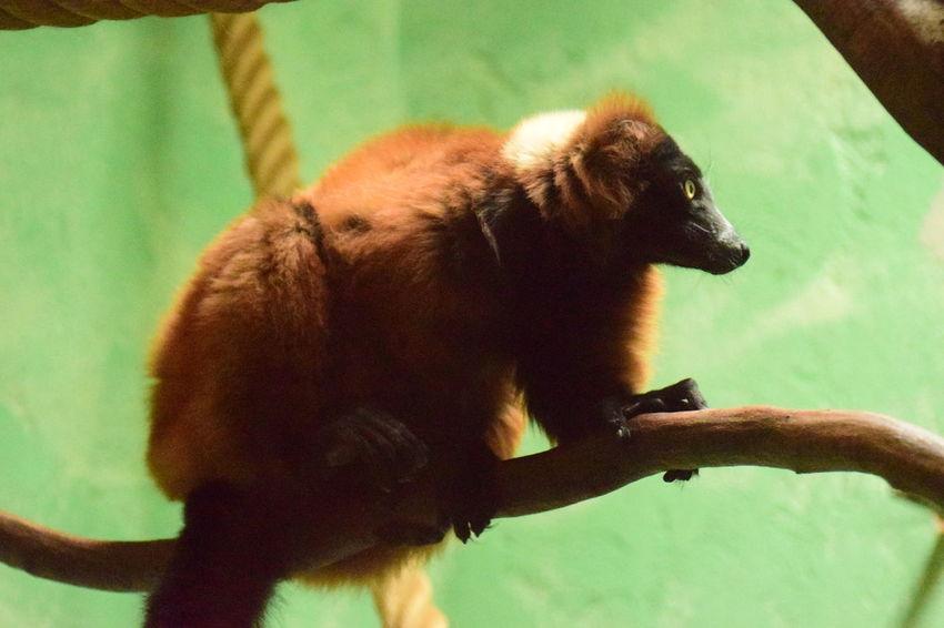 Animal Themes Lemur Zoology