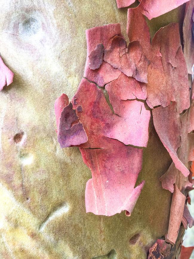 Bark Texture Closeup Closeupshot Madrona Madrona Tree Madrona Tree Bark Natural Pattern Nature Outdoors Patterns In Nature Peeling Bark Rough Textures Textures And Surfaces