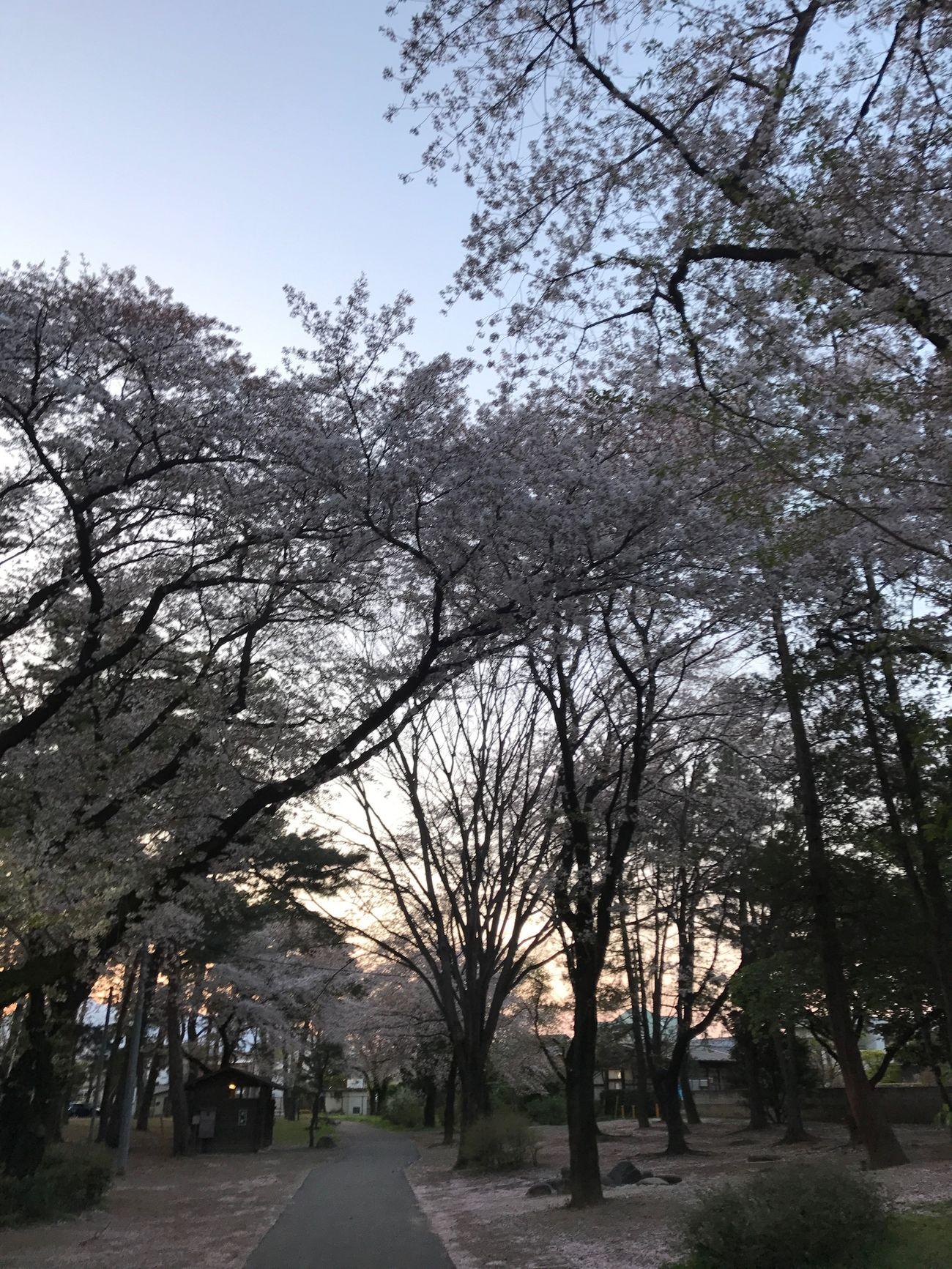 桜 Beauty In Nature Cherry Blossom 🌸