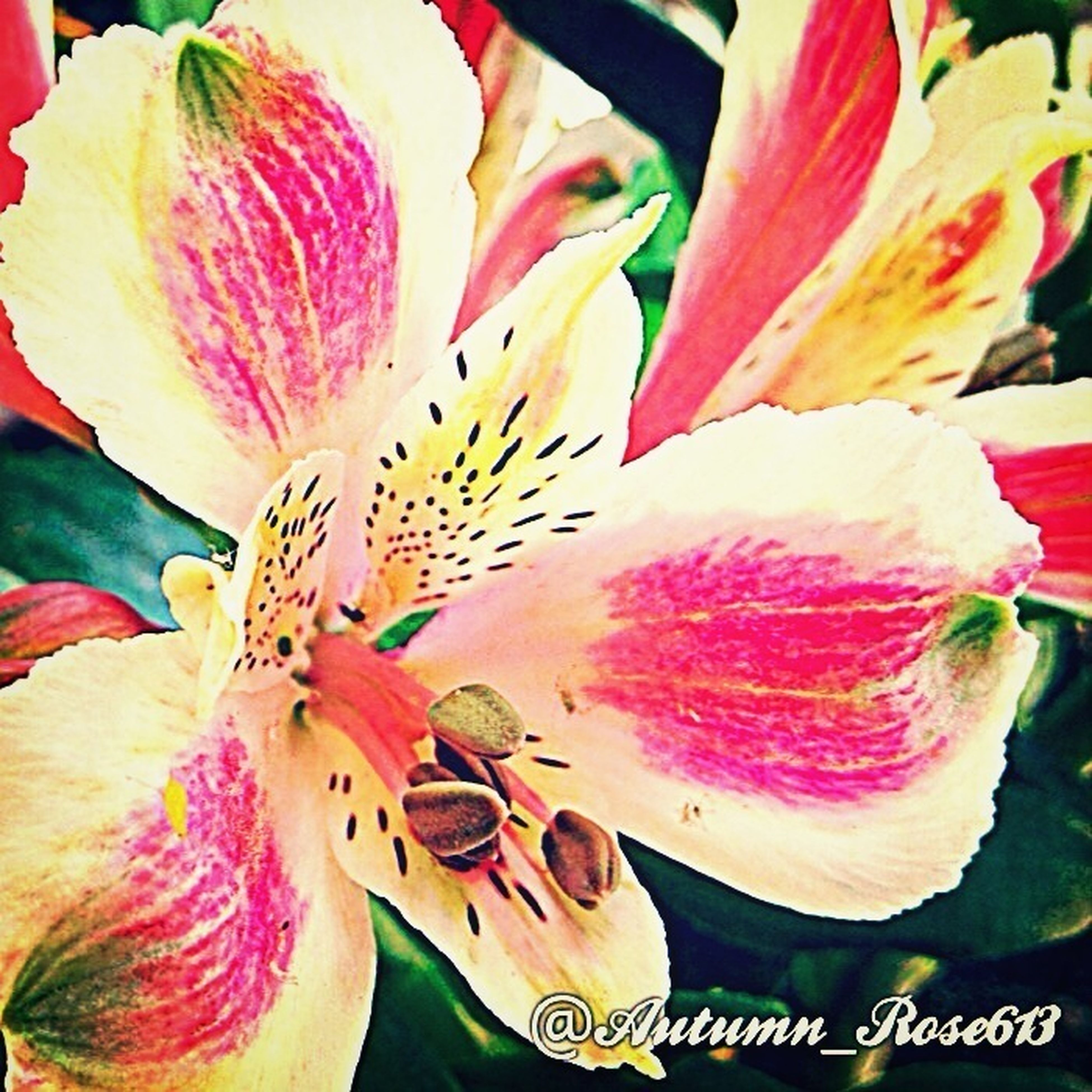 flower, petal, freshness, flower head, fragility, close-up, pink color, beauty in nature, nature, growth, indoors, stamen, yellow, blooming, plant, pollen, no people, multi colored, single flower, day
