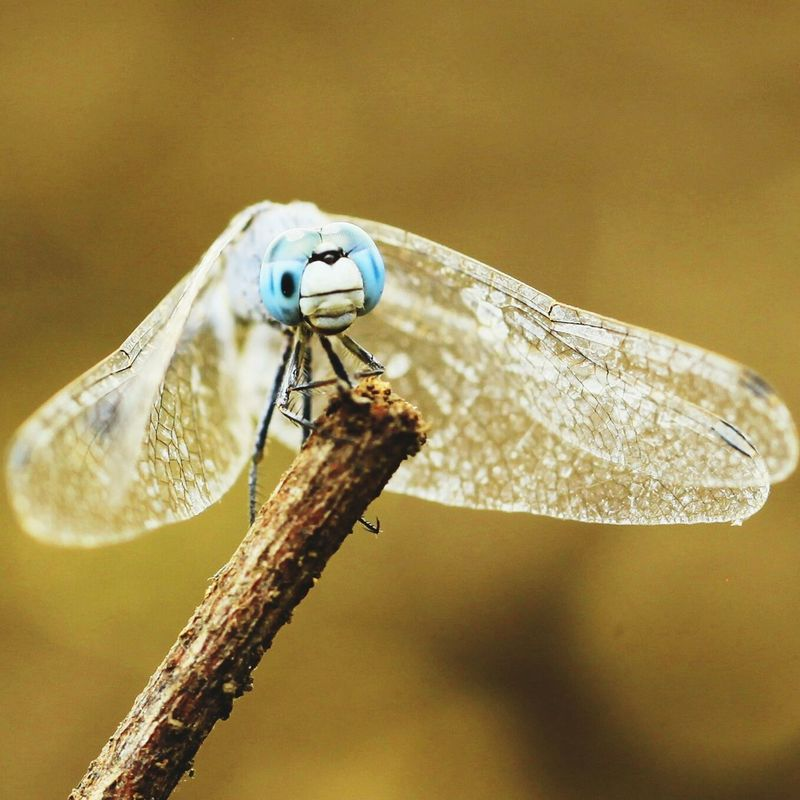 Blue dasher dragonfly Macro Insects Insect_perfection Dragonflies My Dragonfly Photo Dragonfly_of_the_day Insect Photography