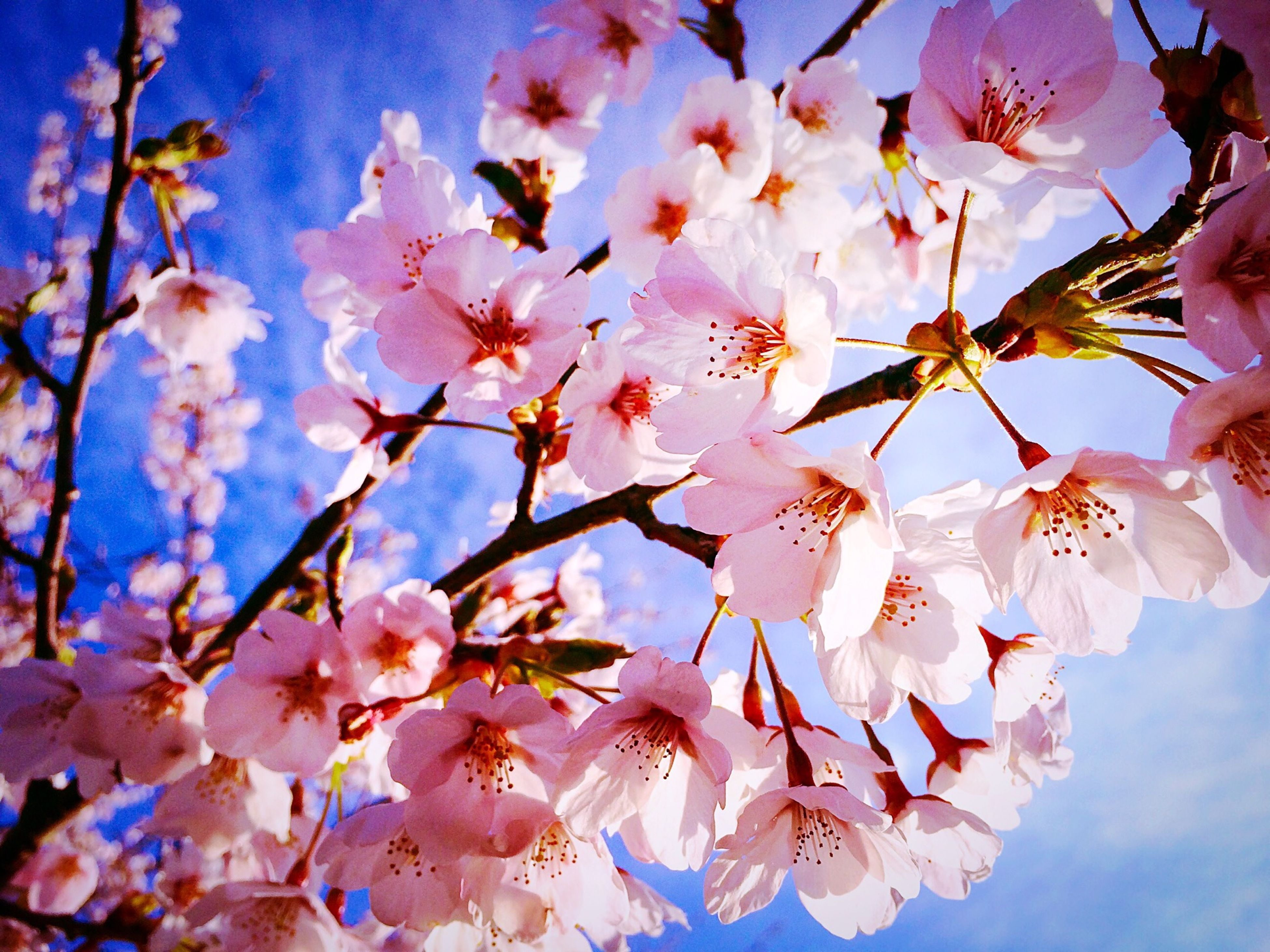 flower, branch, freshness, low angle view, tree, growth, beauty in nature, fragility, blossom, cherry blossom, nature, petal, sky, cherry tree, springtime, in bloom, pink color, blooming, twig, blue