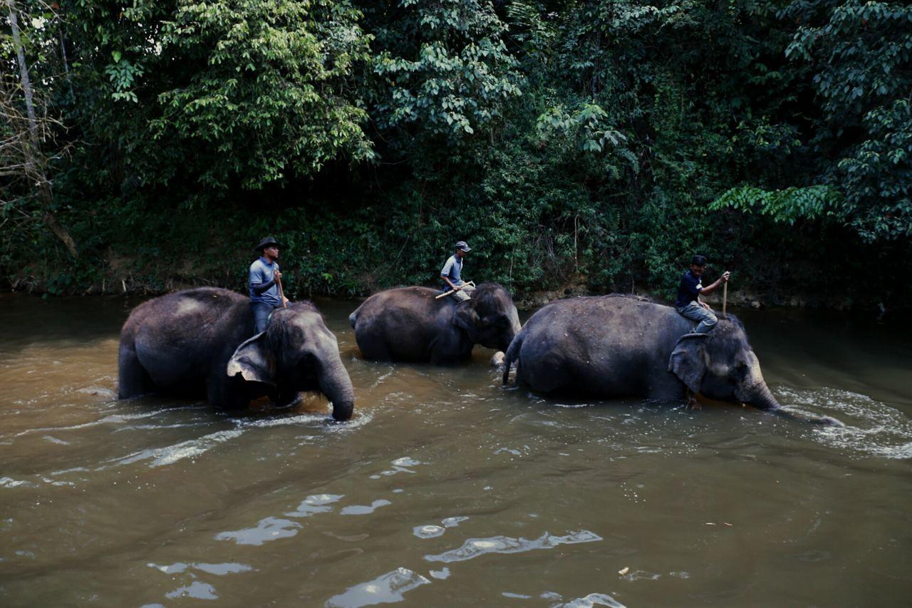 Beautiful stock photos of elefant, Animal Themes, Bentong Town, Crossing, Day